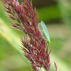 Florfliegen-Larven gegen Läuse, Thrips, Spinnmiben, Raupen, Woll- / Schmierläuse - TwinterS - Natur 1