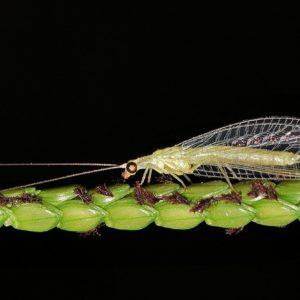 Florfliegen-Larven gegen Läuse, Thrips, Spinnmiben, Raupen, Woll- / Schmierläuse - TwinterS - Natur 2