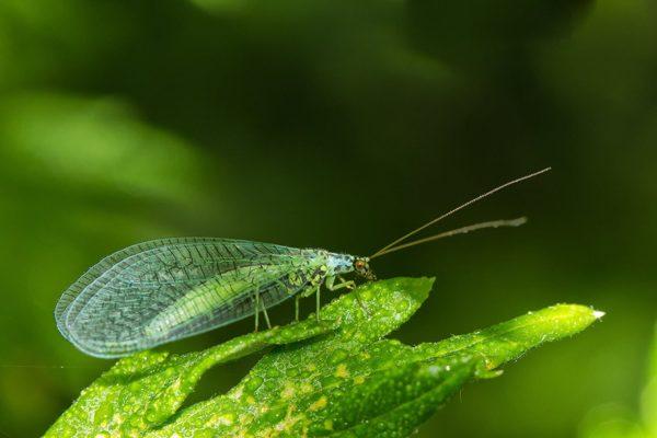 Florfliegen-Larven gegen Läuse, Thrips, Spinnmiben, Raupen, Woll- / Schmierläuse - TwinterS - Natur 4
