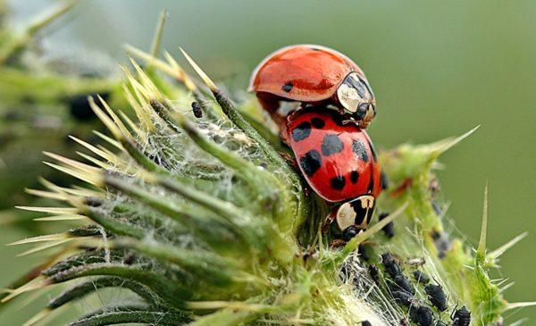 Marienkäfer-Larven zur Bekämpfung von Blattläusen - Natur