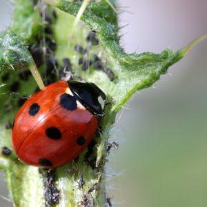 Marienkäfer-Larven zur Bekämpfung von Blattläusen - Marienkäfer