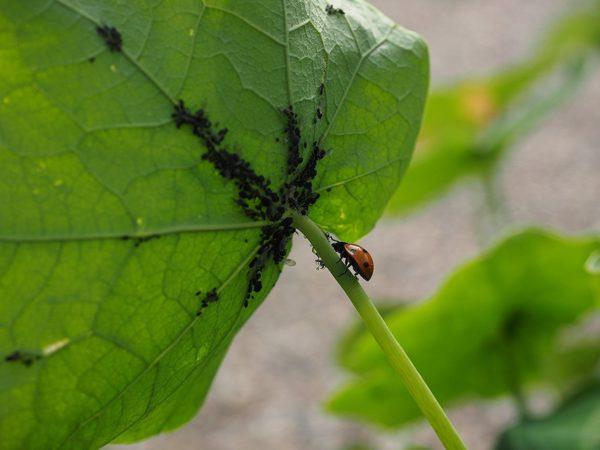 Marienkäfer-Larven zur Bekämpfung von Blattläusen - Anwendung
